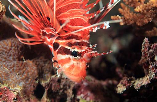 Feuerfisch, Korallen, Angsana Ihuru, Malediven