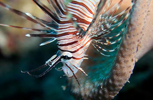 Feuerfisch, Unterwasserwelt, Angsana Ihuru, Malediven