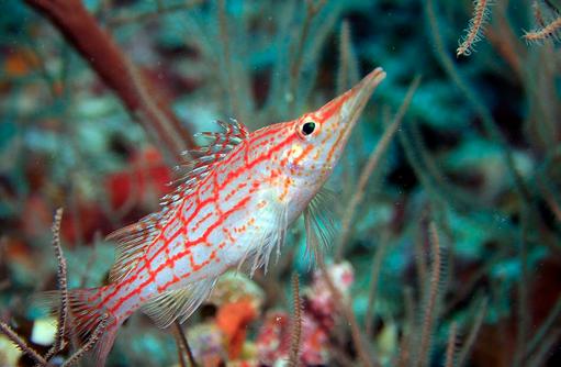 Langschnauzen-Korallenwächter, Tauchen, Angsana Ihuru, Malediven