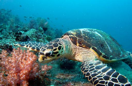 Schildkröte, Tauchaufnahme, Canareef Resort, Malediven