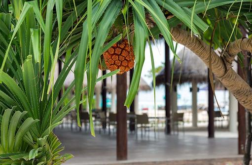 Ananas, Cocoon Maldives