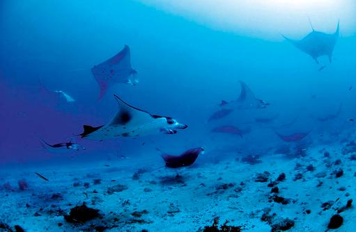 Schwarm Mantarochen, Tauchgang, Constance Moofushi Resort, Malediven