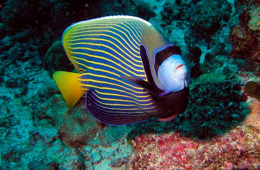 Imperator Kaiserfisch, Unterwasserwelt, Hausriff, Constance Moofushi Resort, Malediven