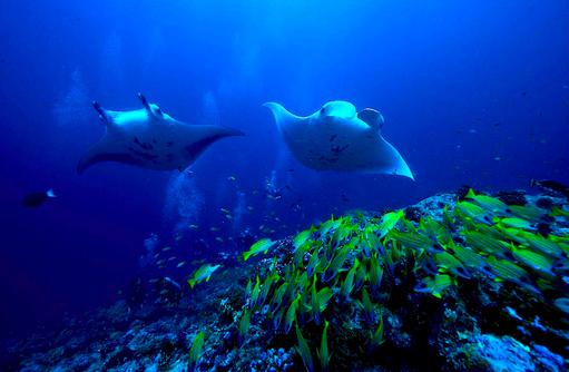 Mantarochen, Unterwasserwelt, Fischschwarm, COOEE OBLU at Helengeli, Maldives