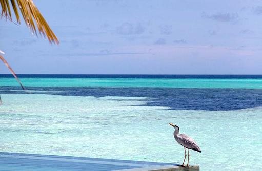 Besucher am Pool, Infinity Pool, Water Villa, Fischreiher I LUX South Ari Atoll