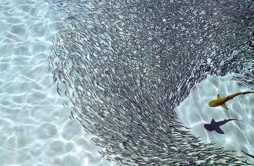 Hai im Fischschwarm I ROBINSON Club Maldives