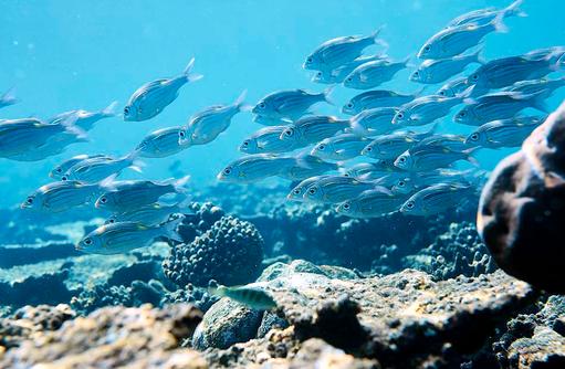 Fische, ROBINSON Club Noonu, Maldives