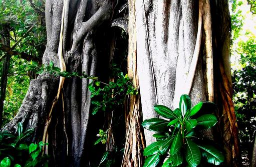beeindruckender Banyan Tree im Inselinneren I The Barefoot Eco Hotel