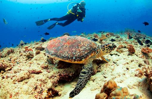 Tauchen, Meeresschildkröte, Velaa Private Island Maldives